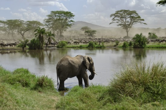 Elephant in river in Serengeti National Park, Tanzania, Africa